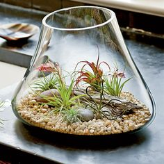 How To Create Terrarium Gardens | Air plants grow naturally on branches and rocks, so no soil is needed.