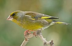European greenfinch. Adult male. Havelock North, October 2008. Image © Dick Porter by Dick Porter