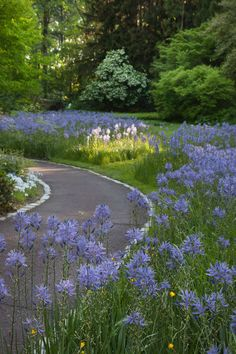 Camassia leichtlinii 'Blue Danube' in full bloom near The Creek. Chanticleer, US