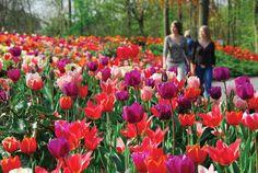 Keukenhof Gardens, photo by Netherlands Tourism; Read articles at http://www.whattravelwriterssay.com