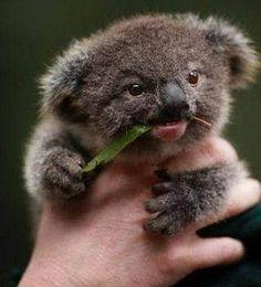 The koala, is Australia's national treasure and a rare and precious primitive arboreal in Australia. The English name Koala bear… Baby Animals Pictures, Cute Animal Pictures, Animals And Pets, Animals Images, Animals Kissing, Boy Pictures, Random Pictures, Cute Little Animals, Cute Funny Animals