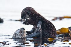 Have you ever seen anything this precious?! A mother sea otter holds her baby in this photo taken by Mike L. Baird in Morro Rock, CA.