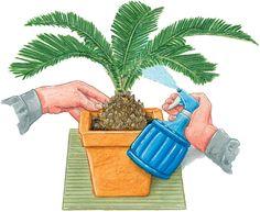 OJO - No pulverizar agua sobre las flores porque se dañan. Pulverizar sólo las hojas. En exterior, por las mañanas antes de que le de el sol.