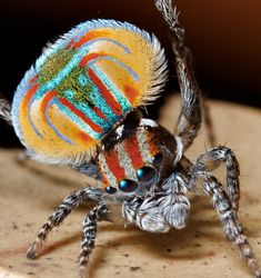 """Jumping spiders are often very colourful spiders. Maratus volans is not an exception. Although tiny, male spiders have an iridescent colouring of red, green and blue.    """"Octavius Pickard-Cambridge noted in his original description that """"it is difficult to describe adequately the great beauty of the colouring of this spider""""."""