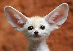 Feneco ou raposa do deserto (Vulpes zerda) - Menor canídeo