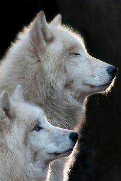 A Sunny Day by Ernst Scharfetter  - White Wolves - Natures Doorways