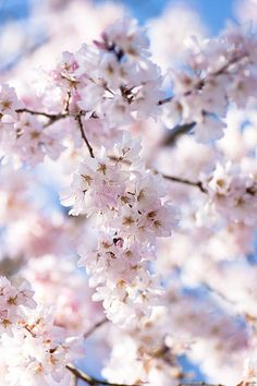 https://flic.kr/p/6aou7G   Sakura 2009*   Cherry blossoms are in blossom.  However, the weather is still cold on these several days...