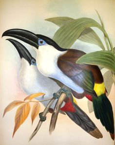Illustrating the exotic: John Gould and Edward Lear's Family of Toucans