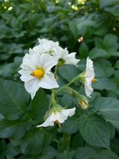 Patates çiçeği..