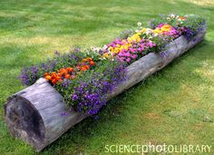 A hollowed out Tree Trunk used as a wooden trough for bedding plants.