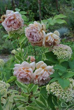'Café ' Rose Photo