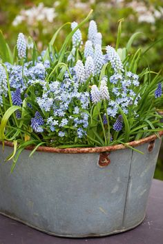 Container Gardening Ideas Forget-me-nots with Muscari 'Baby's Breath' - In the second part of this series, Sarah Raven discusses her fail-safe recipe for springtime pots and window boxes that combine colour and scale Amazing Gardens, Beautiful Gardens, Beautiful Flowers, Deco Floral, Arte Floral, Back Gardens, Small Gardens, Courtyard Gardens, Terrace Garden
