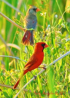 Cardinals..... West Virginia state bird. My fave because, they're survivors. Winter survivors ❤️