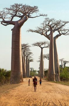 KING CREATIVE : Photo ~ Africa. Amazing trees dwarfing the people. Would love to see this.