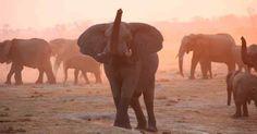 Too Many Elephants at Zimbabwe's Hwange National Park - http://zimbabwe-consolidated-news.com/2017/04/22/too-many-elephants-at-zimbabwe039s-hwange-national-park/