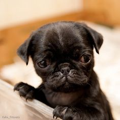 Worrisome baby pug