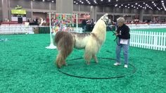 Watch Doris Schlemmer take her llama through a master's level obstacle course in 2013 at the NAILE Show in Louisville, KY. Llama Alpaca, Obstacle Course, Camels, Livestock, Dory, Cousins, Horses, Alpacas, Donkeys