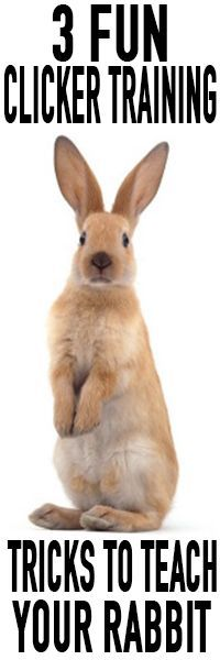 Clicker training your rabbit: fun tricks and games (3 videos!)