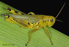 CORN Farmers rotate crops to help control Insects that can cause damage to the crop. Expert System, Leafhopper, Hunting Quotes, Beautiful Bugs, Choose Wisely, Animal Facts, Fun Facts, Awesome Facts, Insects