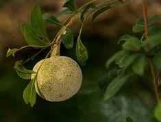 Wood apple, Kawista (Limonia acidissima)