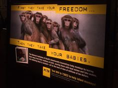 """Members of Congress request investigation into U.S. monkey lab – Ads such as this one claim that NIH is spending millions of taxpayer dollars to traumatize """"baby monkeys by tearing them away from their mothers at birth, scaring them with loud noises and fake snakes, and addicting them to alcohol."""" The group claims that the campaign resulted in more than 150,000 phone calls and e-mails from the public to NIH and Congress."""
