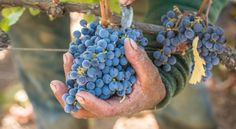 Most wine grapes in Napa Valley are harvested by hand (Bob McClenahan for Napa Valley Vintners)