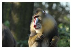 Mandrill by Erikas -Pictures