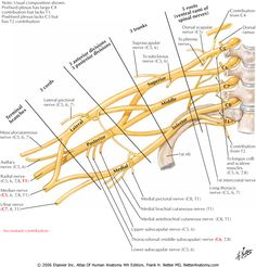 Brachial Plexus. So nice to have a quick, easy reference of this.