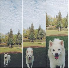 Dog park fun at Bruno Canziani Dog Park - Livermore, CA - Angus Off-Leash #dogs #puppies #cutedogs #dogparks #angusoffleash #bigdogs #livermore #california