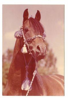 Schoene-alte-Pferdepostkarte-l-Brauner-Araber-Portraet-Sehr-guter-Zustand