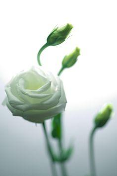 White Flower _