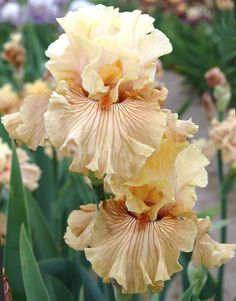 Tall Bearded Iris called- Just Crazy