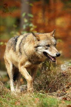 Gray wolf by Jirí Míchal