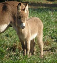 Miniature donkeys are exceptional companion animals and easy keepers. They also serve a purpose on the farm as they will protect your sheep or goat herd from predators.
