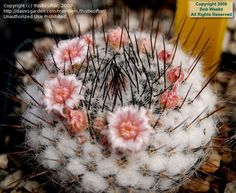 Mammillaria matudae ile ilgili görsel sonucu
