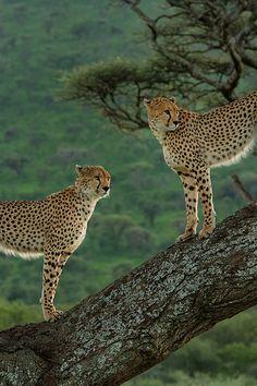 Cheetah - Two cheetahs in a tree, overlooking the great savannas of Serengeti, Tanzania.