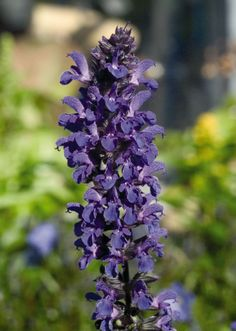 Salvia x superba, Adora Blue, Perennial Salvia, Shade Plants, Cool Plants, Landscaping Plants, Front Yard Landscaping, Landscaping Ideas, Shade Garden, Garden Plants, Garden Spaces