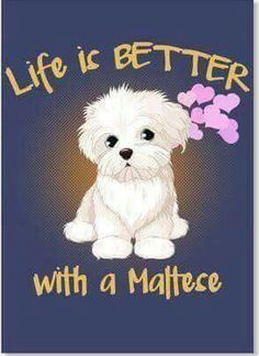 34 Super Ideas For Dogs Maltese Doggies Cute Puppies, Cute Dogs, Dogs And Puppies, Doggies, Animals And Pets, Baby Animals, Cute Animals, Maltese Dogs, Maltese Poodle