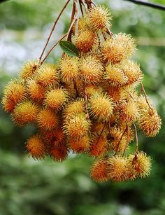 The sexiest Hairy fruit (Rambutan) in Indonesian or Malay literally means hairy or hairy fruit caused by the 'hair' that covers this fruit. In Panama, Costa Rica, and Nicaragua, it is known as mamón chino.