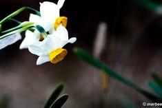 写真 水仙 202102 蔵出しが続く #写真 #photo #花 #flower My Works, Plants, Plant, Planets