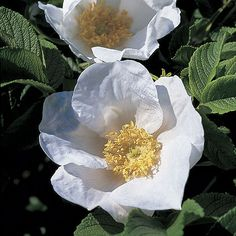 10 Rosa Rugosa Alba Seeds  japanese Rose Seeds by seedking on Etsy