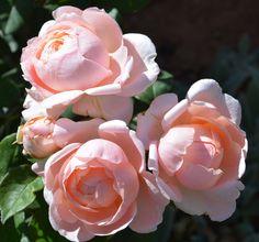 'Ambridge Rose' | Shrub. English Rose Collection. David C. H. Austin, 1990 | Flickr - © Ingrid Van Streepen