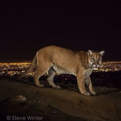 by natgeo: The Power of Photography! Photo by @stevewinterphoto. Time to turn the spotlight on America's Big Cat: Cougars, especially those living around #L.A., such as P-22 who I photographed for a @natgeo story on #Cougars, and who is now the Poster Boy for the recently launched ‪#‎SaveLaCougars‬ campaign. This image ran on the front page of the @LATimes 2 years ago and seemed to start the conversation about the overpass! Today plans were announced - California..