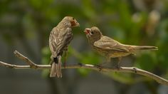 Here you go... - Finch father is feeding his daughter. Baby finches keep making a lots of noise giving an attention to their parents. So cute.