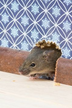 How to Deal with Mice in the Walls - Bob Vila Getting Rid Of Rats, Mice Control, Bob Vila, Garage Walls, House Wall, Home Ownership, Rodents, Lawn Care, Home Improvement Projects