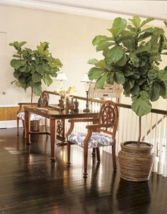 fig leaf plant in a woven planter adds tropical flavor