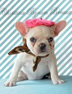Pierre, the French Bulldog Puppy, so French ; )