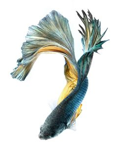 How to Treat a Sick Betta Fish: Betta fish in action,Siamese fighting fish. (Visit the article page for more how-to tips and tutorial.)   #Bettafish