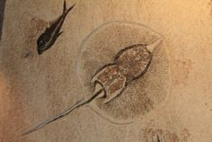 Stingray fossil, both a beautiful graphic quality and a rare fossil.