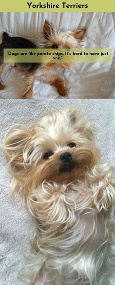 Discover more about Yorkshire Terriers  Please click here for more. #yorkshireterrier